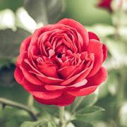 helderwetende  Roos